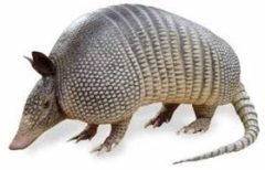 cropped-armadillo.jpg